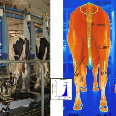 Thermography in the veterinary medicine – measurement of the body temperature of cows with infrared cameras